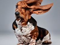 basset-hound-dog-ears-blowing-wind-windy