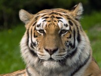Siberischer_tiger_de_edit