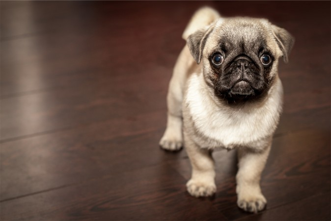 Convince someone to adopt this pug.