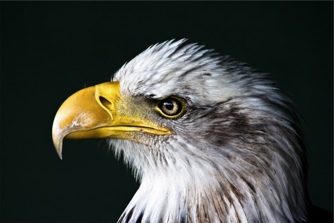 Come up with a better symbol for America than an eagle. Convince the U.S. to go with your choice.