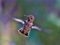why do hummingbirds float