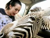 zebraattack