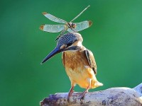 bugbird