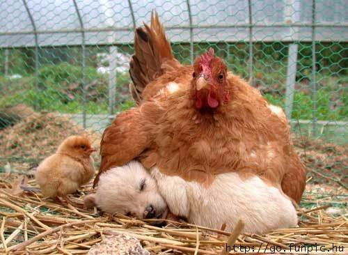 Write a story about a puppy that thinks he's a baby chick.