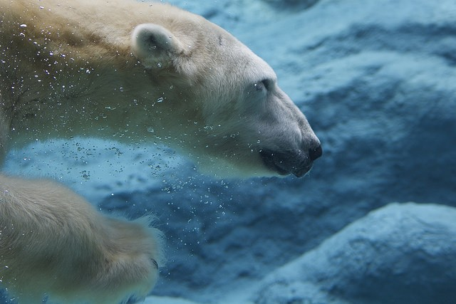 How do arctic animals stay warm in icy water?