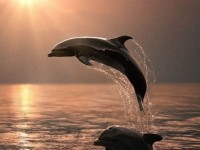 1445559233_dolphin