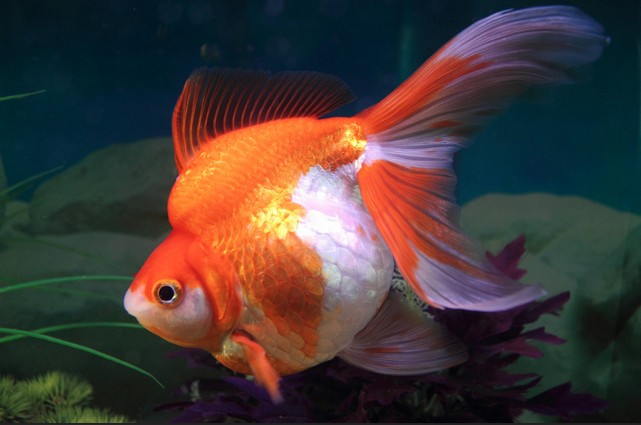 Is a pet goldfish a real responsibility? Why or why not?