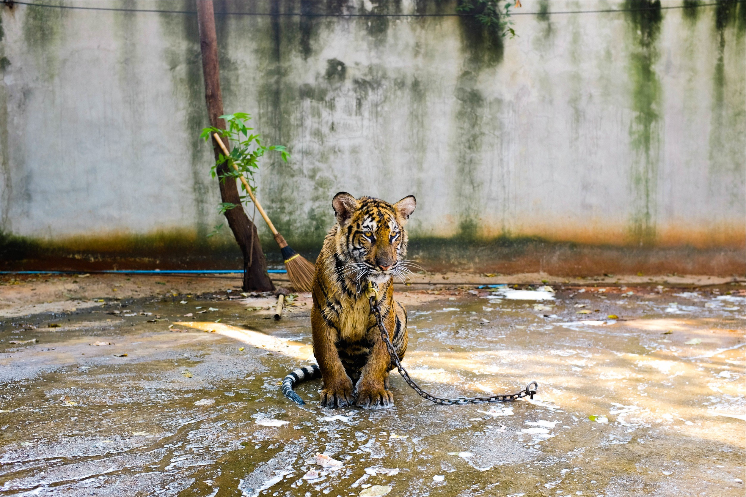1449765550_tell-this-story-tiger-perspective