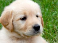 FreeAdsPets.com-dogs-breed-golden-retriever-gender-male-age-baby-akc-golden-retriever-puppies-for-sale-kalamazoo