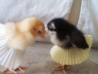 1453769954_chicks