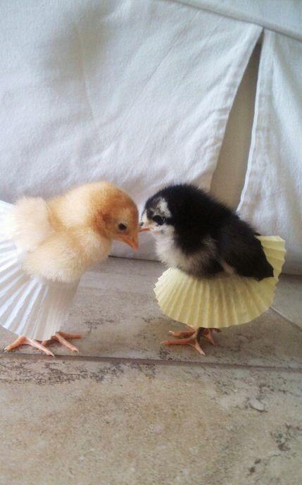 1453824609_chicks