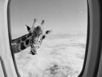 1455846417_giraffe-plane