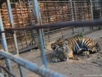 1458077762_295272_by_rtornow_Tiger-at-Zoo