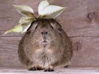 guinea-pig-629784_1920