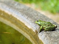 frog-1505377_1920