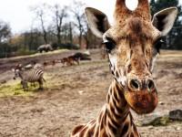giraffe-1082168_1280