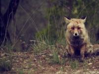 fox-1477172_1920