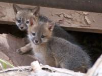 gray-fox-kits-956687_1280