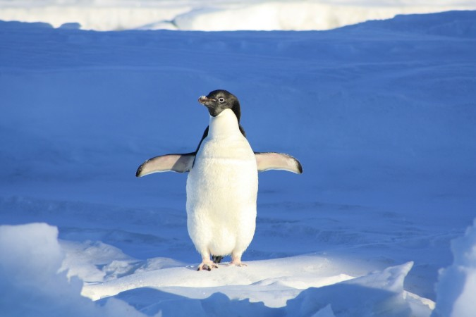 This penguin has just been elected president. Write his (or her) speech.
