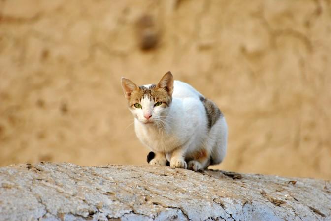 Design a plan to address Australia's feral cat problem.