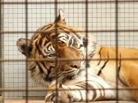 sumatran-tiger-77081_960_720