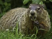 groundhog-956701_1280
