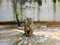1491327579_tell-this-story-tiger-perspective