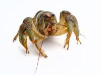 lobster-1538643_1920