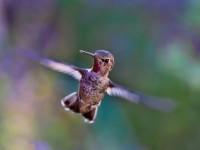 hummingbird-691483_1920