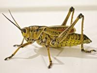 locust-674064_1920
