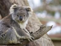 animals_hero_koala02 copy