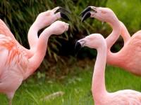 flamingos-1335042_1920