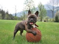 french-bulldog-2365684_1920