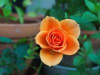rose-115646_1920