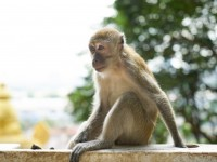 monkey-sitting-on-a-white-fence-with-a-tree-in-the-background_1122-1311
