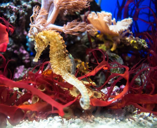 How does the circulatory system of a seahorse work?