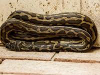 carpet-python-432747_1920