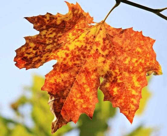 Pretend you are an autumn leaf. Explain what it's like to change colors and then to fall off of a tree.