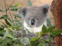greedy-koala_2723817