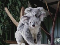 koala-duo_2130551