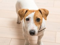 jack-russell-terrier-at-home_1385-429