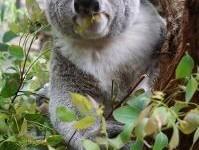 koala-eating_2904072
