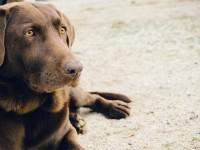 1505940516_animal-dog-pet-brown