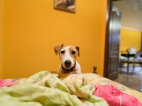 little-jack-russell-terrier-on-bed_1385-400