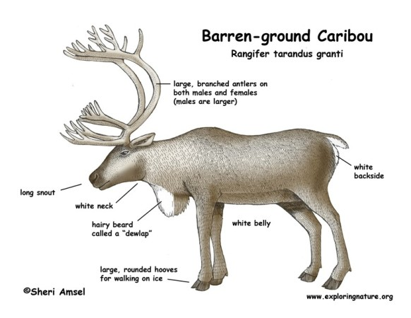 7597529_by_Erin_Sutter_caribou_diagram 582x450 write about reindeer anatomy