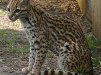 1515593605_Ocelot_Marwell_Zoo