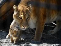 01-liger-tigon