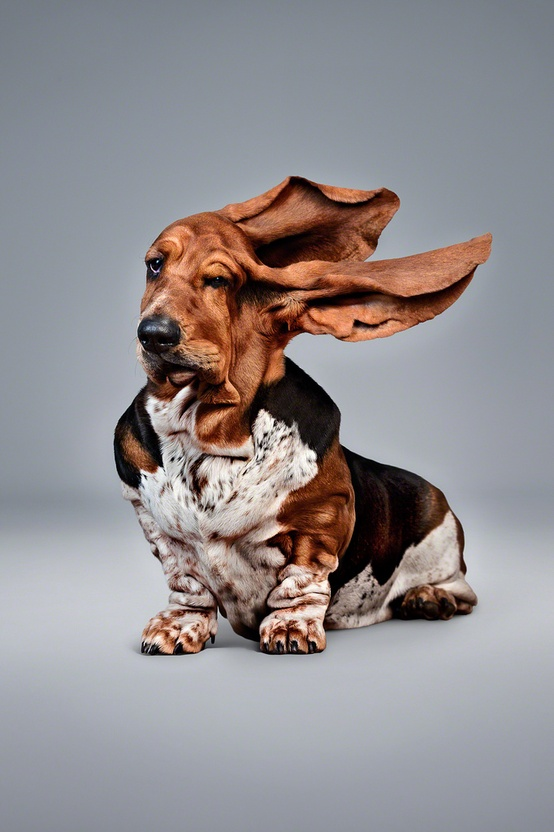 1537444534basset-hound-dog-ears-blowing-wind-windy