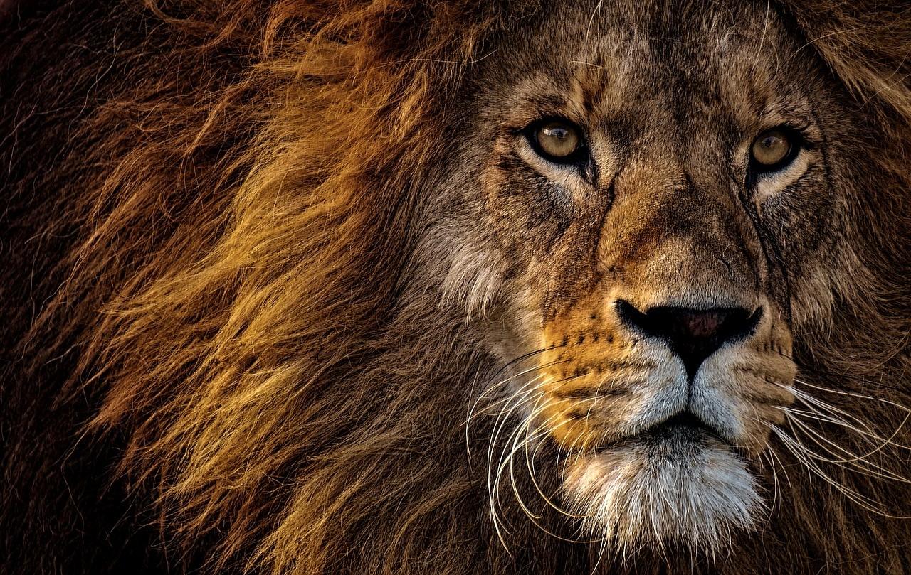 lion-3576045_1280