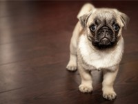 1569616152adopt-this-pug